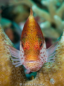 Freckled Hawkfish by Larissa Roorda 